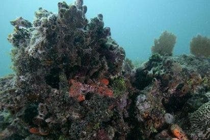 Buscan los corales más fuertes del mundo para salvar otras especies