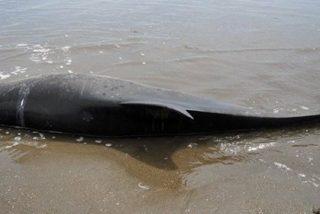 ¿Por qué murieron 877 delfines en la orilla del mar de Perú?