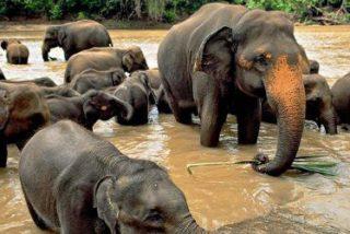 Los 'madrileños' de hace 80.000 años comían carne y médula de elefante