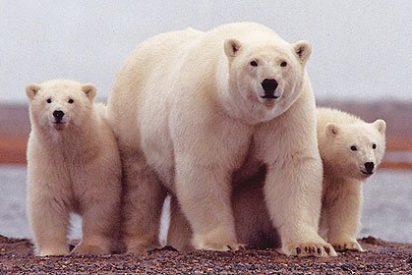 Los osos polares son cinco veces más antiguos de lo que se pensaba