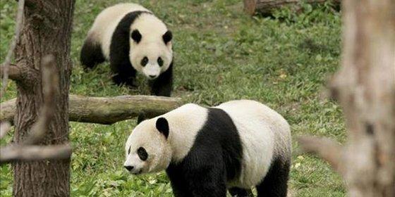 Un zoológico británico busca encender la pasión de los osos panda