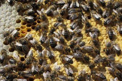 El polen de abeja puede provocar reacciones anafilácticas
