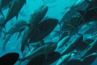 Descubren en California atunes japoneses radioactivos