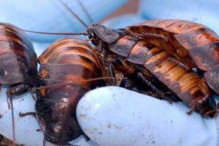 Las cucarachas hacen 'puenting' para escapar si se ven en peligro