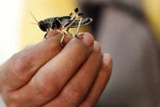 Así llega la plaga bíblica de langostas africanas a España