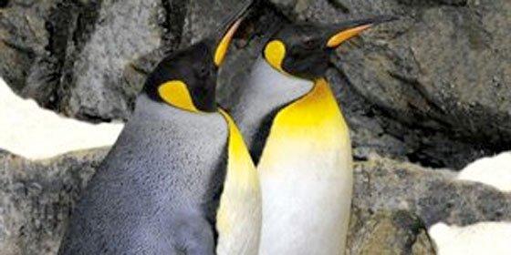 Salen a la luz las 'depravadas' costumbres sexuales de los pingüinos