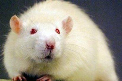 Varios científicos logran que ratas con parálisis consigan caminar