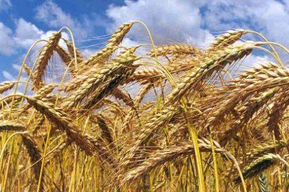 Crean una especie nueva de trigo que repele a los insectos
