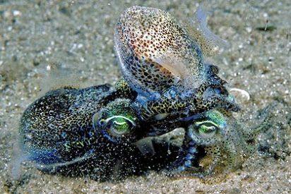 El interminable, intenso, ardiente y agotador sexo de los calamares