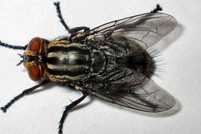 Los investigadores crean una mosca que sabe contar hasta cuatro