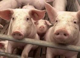 Muere un hombre de 72 años al ser mordido por un cerdo en su finca de Sant Llorenç