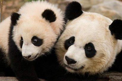 """Inyección de moral para CiU: """"El oso panda no es chino sino catalán"""""""