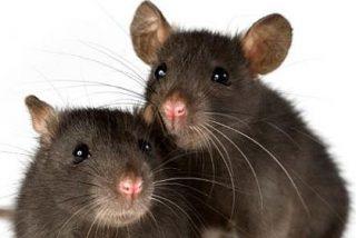 Las ratas son el problema de Nueva York tras el huracán 'Sandy'