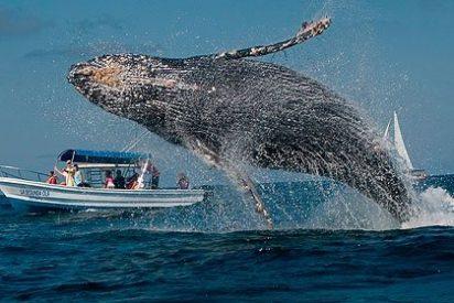 Aparece muerta una ballena de más de 15 metros de longitud en la playa de La Concha