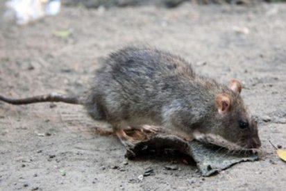 Las ratas invaden la zonas del Arenal, Can Pastilla, Ciudad Jardín y el Molinar