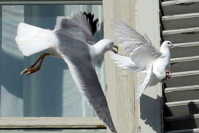 Una gaviota atacó en pleno vuelo a la paloma blanca del Papa