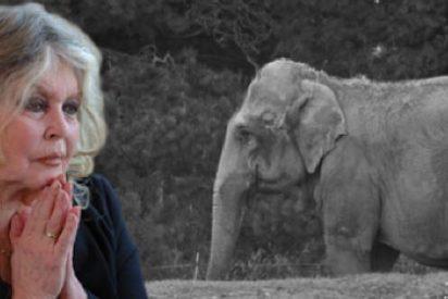 Hollande cede ante Brigitte Bardot y suspende la eutanasia de dos elefantes de un circo de Lion