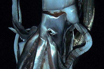 Logran por primera vez fotografiar al calamar gigante de las profundidades en su habitat natural