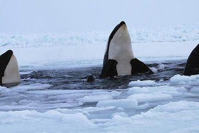 Una docena de orcas queda atrapada bajo el hielo en Canadá