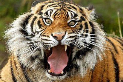 Un tigre mata a su domador en plena función de circo en México
