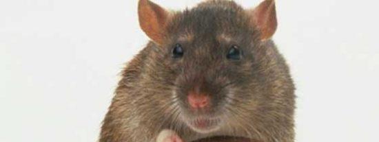 Todas las ratas de la isla británica subantártica de Georgia del Sur serán erradicas siguiendo protocolos de 'invasión alienígena'
