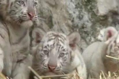 Buenos Aires tiene unos singulares tigres blancos