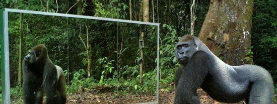 ¿Has visto como reaccionan los animales frente al espejo?