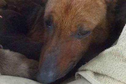 Una perra salva a un bebé abandonado de morir de frío cobijándolo con sus cachorros