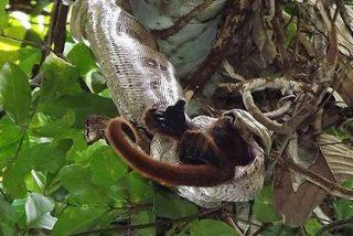 El escalofriante vídeo de la boa constrictor devorando vivo al mono aullador