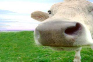 Tres vacas casi provocan una tragedia aérea en una pista de aterrizaje