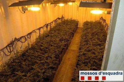 Van a detenerlo por conducción temeraria y le encuentran en casa...¡3.791 plantas de marihuana!