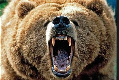 Los osos grizzlies comen mejor desde que el lobó regresó al parque de Yellowstone