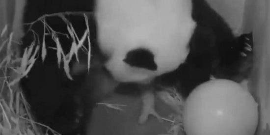 El asombroso vídeo del nacimiento de un diminuto panda gigante en el zoo