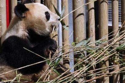 Las dos crías del panda gigante del Zoo de Madrid esperan la llegada de un 'hermanito'