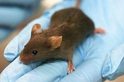 Milagro científico: un ratón vuelve a la vida gracias a células madre humanas