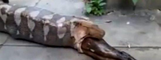 El espeluznante vídeo de la pitón que se traga a un perro en plena calle y lo regurgita
