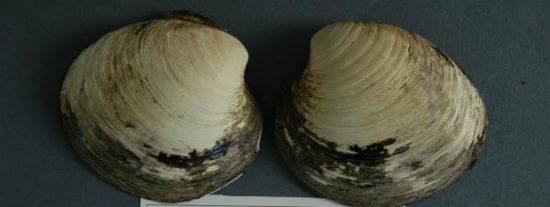 Unos científicos manazas matan al animal más viejo del mundo (507 años)