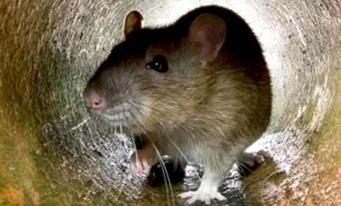 Las ratas mutantes que comen veneno están cada vez más cerca...¿llegarán hasta nuestras casas?
