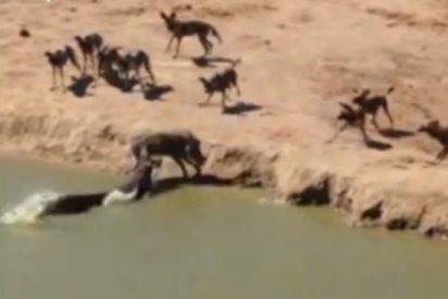 [Vídeo] El atroz final de un jabalí que huye de los chacales y que devora un cocodrilo