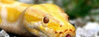 Una serpiente pitón estrangula a un guardia de seguridad en un hotel de lujo en Bali