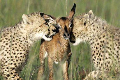 Un venado salta al recinto de los guepardos del zoo de Washington y se lo comen