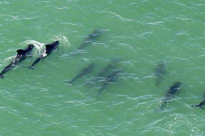 [Vídeo] Las ballenas varadas abandonan a sus compañeras muertas y se salvan