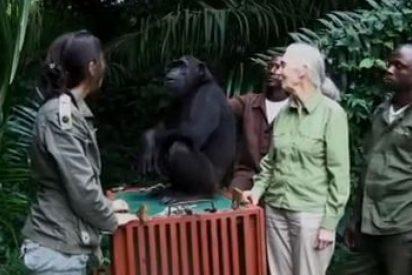 [VIDEO] La chimpancé va a hacer algo durante su liberación que te emocionará...