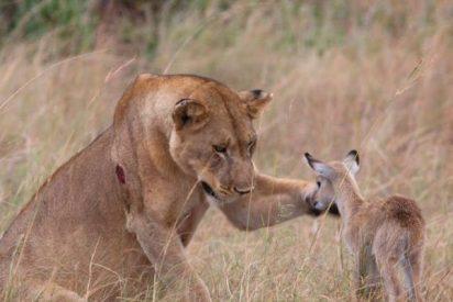 No es tan fiero el león como lo pintan, al menos esta vez y con el chiquitín