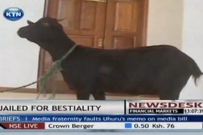 [Vídeo] El juez cita a juicio a una cabra víctima de salvajes abusos sexuales