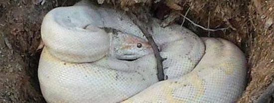 Aparece una serpiente pitón albina de 2 metros de longitud en una calle de Ibiza