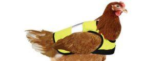 Abrigos para pollos y gallinas: el último grito de la moda invernal que ya cacarea