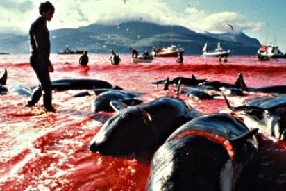 Más de 250 delfines esperan a ser masacrados para hacer sushi para los despiadados japoneses