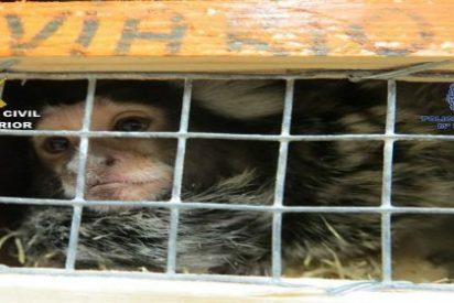 El mono del hijo de 'La Paca' 'ayuda' a meter entre rejas a una banda que se dedicaba a robar animales exóticos