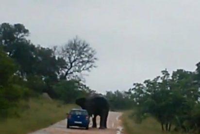 [Vídeo] El elefante le hiere con sus colmillos en un safari park tras hacer volcar su coche